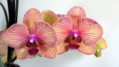 frugalcrafter_orchid_reference_photo