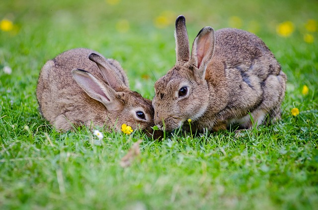 european-rabbits-1006621_640