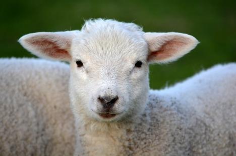 lamb-292512_640