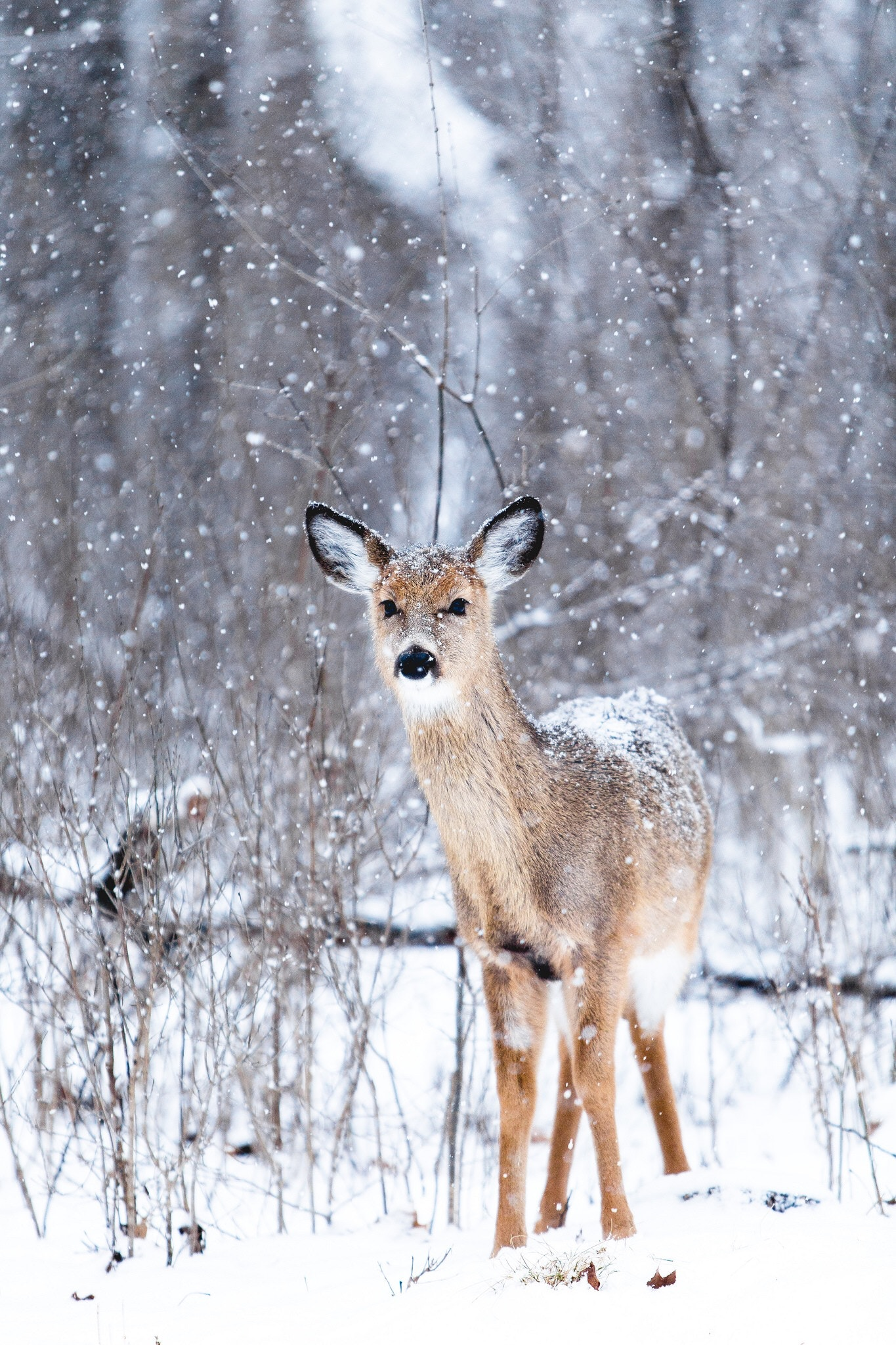LIVE! Snowy Deer in Watercolor Tutorial 12:30pm ET
